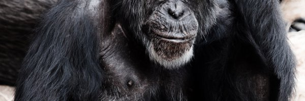 article about New Ebola vaccine to help protect chimps