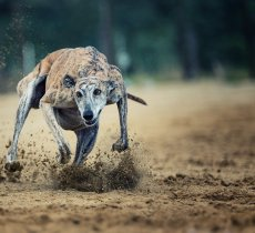 Sport article about A Guide to the Best Racing Tracks in the UK For Greyhound Betting Fans