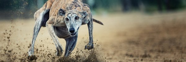 article about A Guide to the Best Racing Tracks in the UK For Greyhound Betting Fans